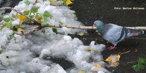 porumbel in iarna