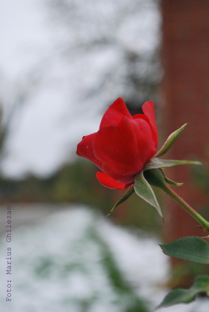 trandafir in iarna