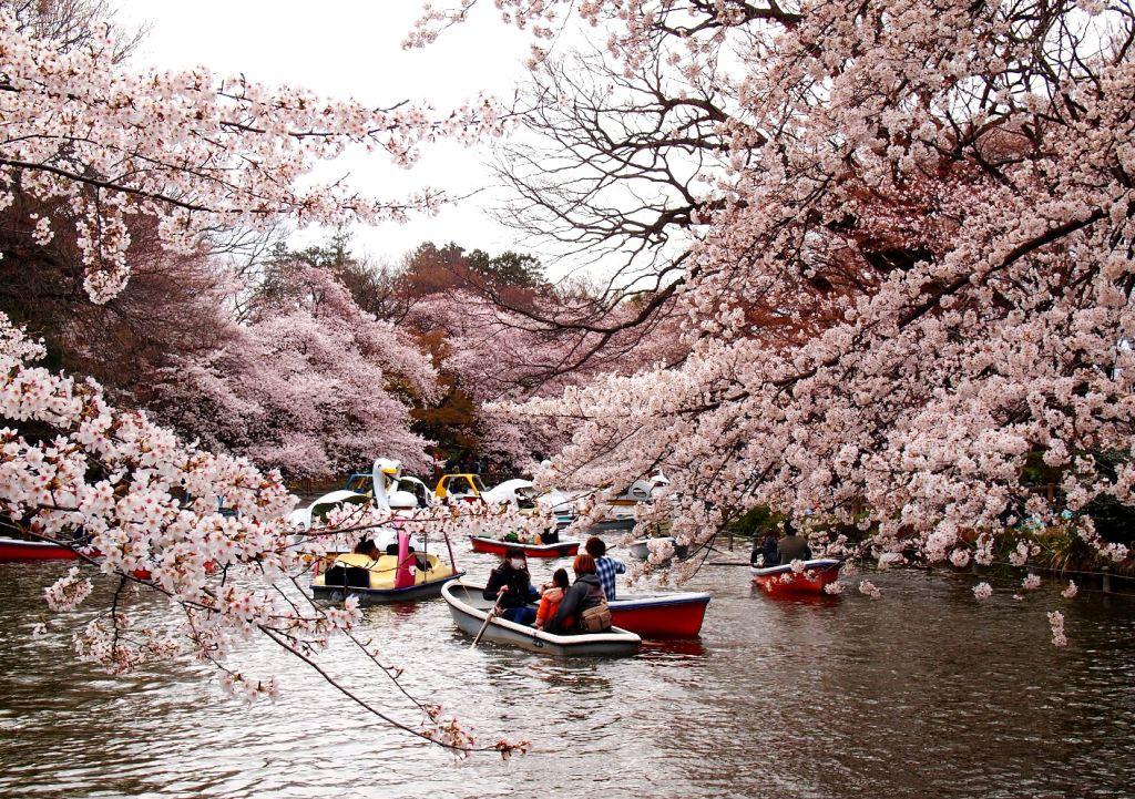 japonia in timpul florilor de cires