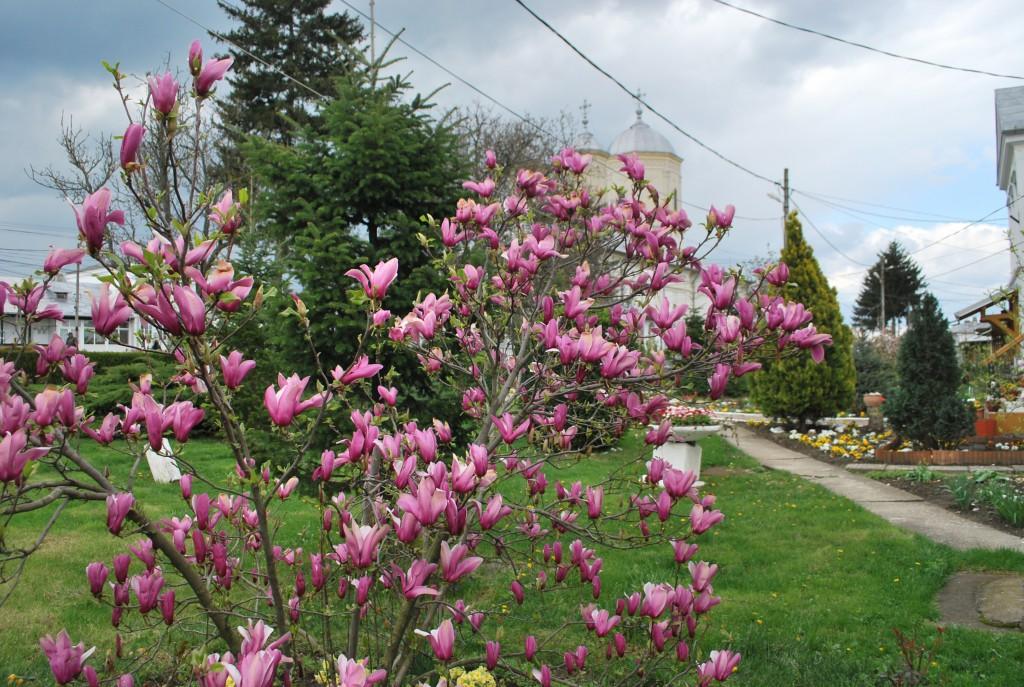magnolia biserica