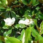 magnolia glandiflora