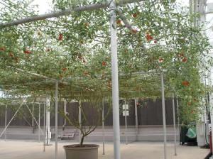 copacul cu rosii