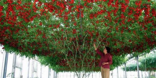 pomul de rosii